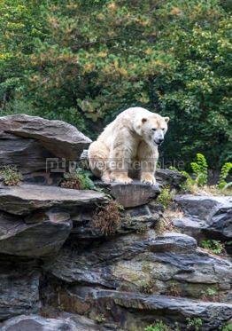Animals: White polar bear #03774