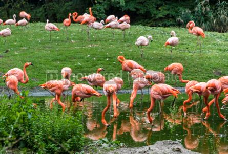 Animals: Pink flamingos in nature #03775