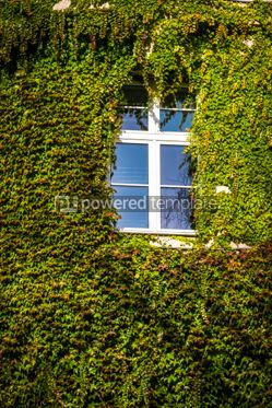 Architecture : Wall with window covered with green ivy #03786