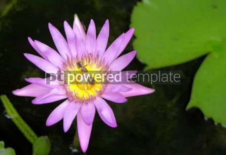 Nature: Blue Water-Lily #03871