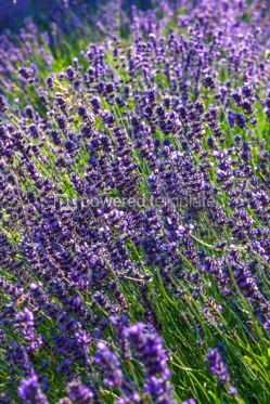Nature: Close-up Lavender bushes in sunny day #03873