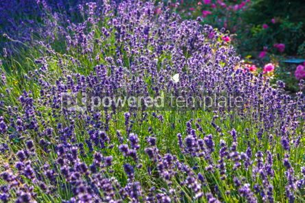 Nature: Close-up Lavender bushes in sunny day #03874