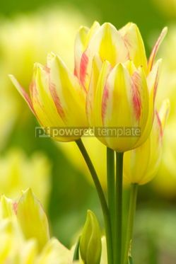 Nature: Yellow tulips #03875