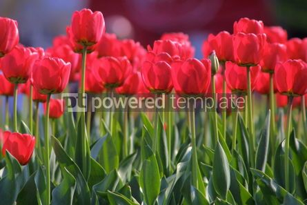 Nature: Red tulips #03876