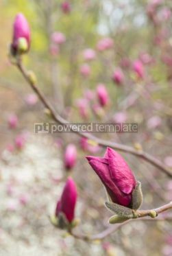 Nature: Blooming pink magnolia buds in springtime #03877