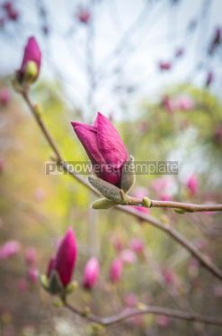 Nature: Blooming pink magnolia buds in springtime #03878