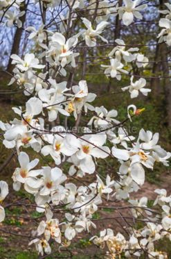 Nature: Magnolia tree with white flowers in springtime #03879