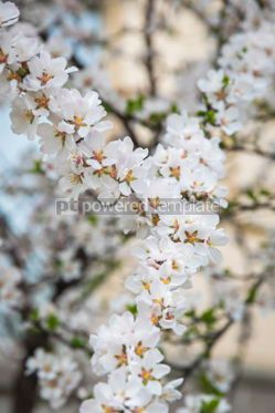 Nature: Flowers of the cherry blossoms in springtime #03880