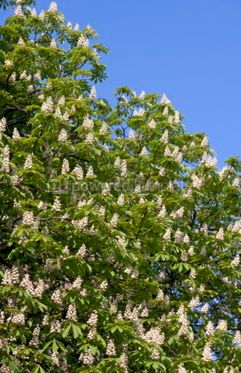 Nature: Chestnut tree branches with white blossoms #03934