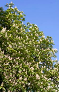 Nature: Chestnut tree branches with white blossoms #03935