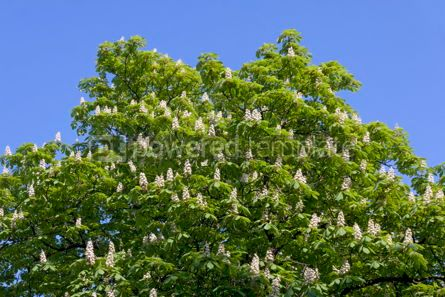 Nature: Chestnut tree branches with white blossoms #03936