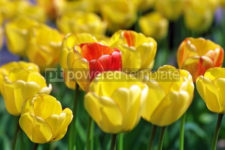 Nature: Close-up yellow tulips in garden #03938