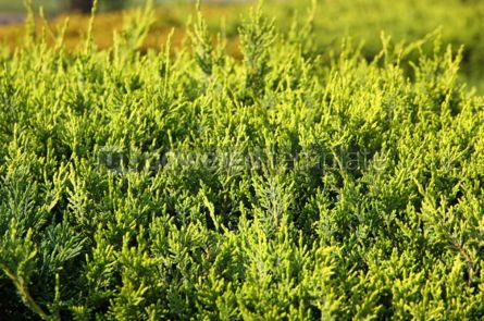 Nature: Close-up of green cypress (thuja) leaves background #04080