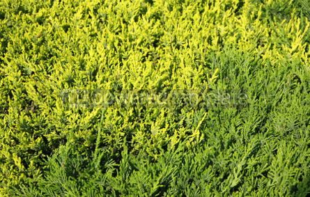 Nature: Close-up of green cypress (thuja) leaves background #04082