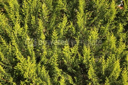 Nature: Close-up of green cypress (thuja) leaves background #04083