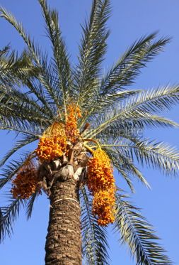 Nature: Close-up date palm tree with dates #04084