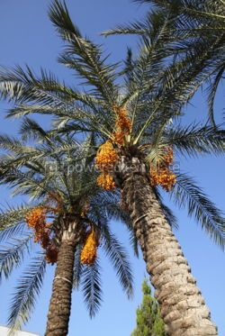 Nature: Close-up date palm tree with dates #04085