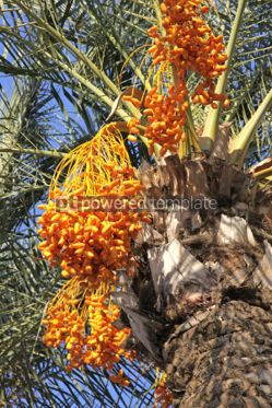 Nature: Close-up date palm tree with dates #04086