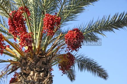 Nature: Close-up date palm tree with dates #04087