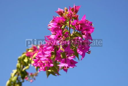 Nature: Branch of Bougainvillea flowers in the garden over blue sky back #04090