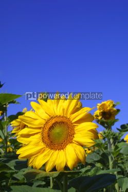Nature: Yellow sunflower on a meadow over blue sky background #04100