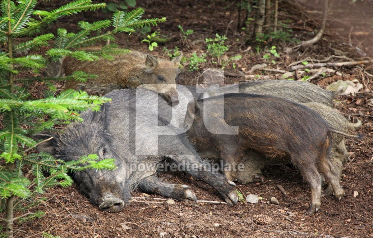 Small wild boars sucking milk from their mother, 04146, Animals — PoweredTemplate.com