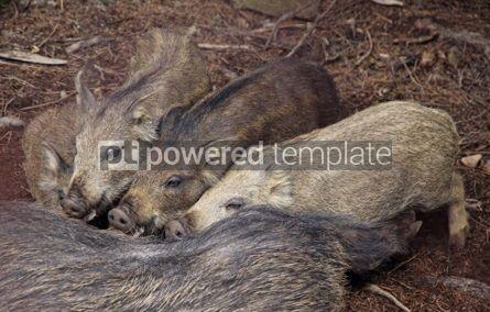 Animals: Four wild boars sucking milk from their mother #04147