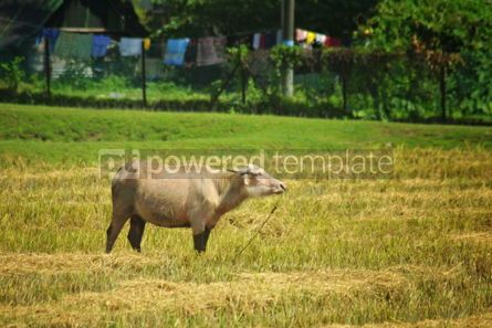 Animals: Cow on the pasture on Langkawi island Malaysia #04148