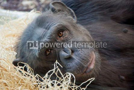 Animals: Portrait of a young Chimpanzee #04149