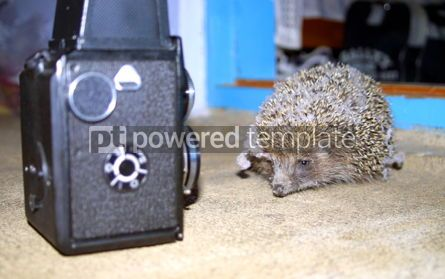 Animals: Hedgehog and old photo camera #04151