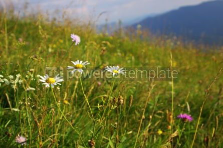Nature: Camomile flowers on the green mountain meadow in Carpathians Uk #04208