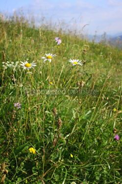 Nature: Camomile flowers on the green mountain meadow in Carpathians Uk #04209