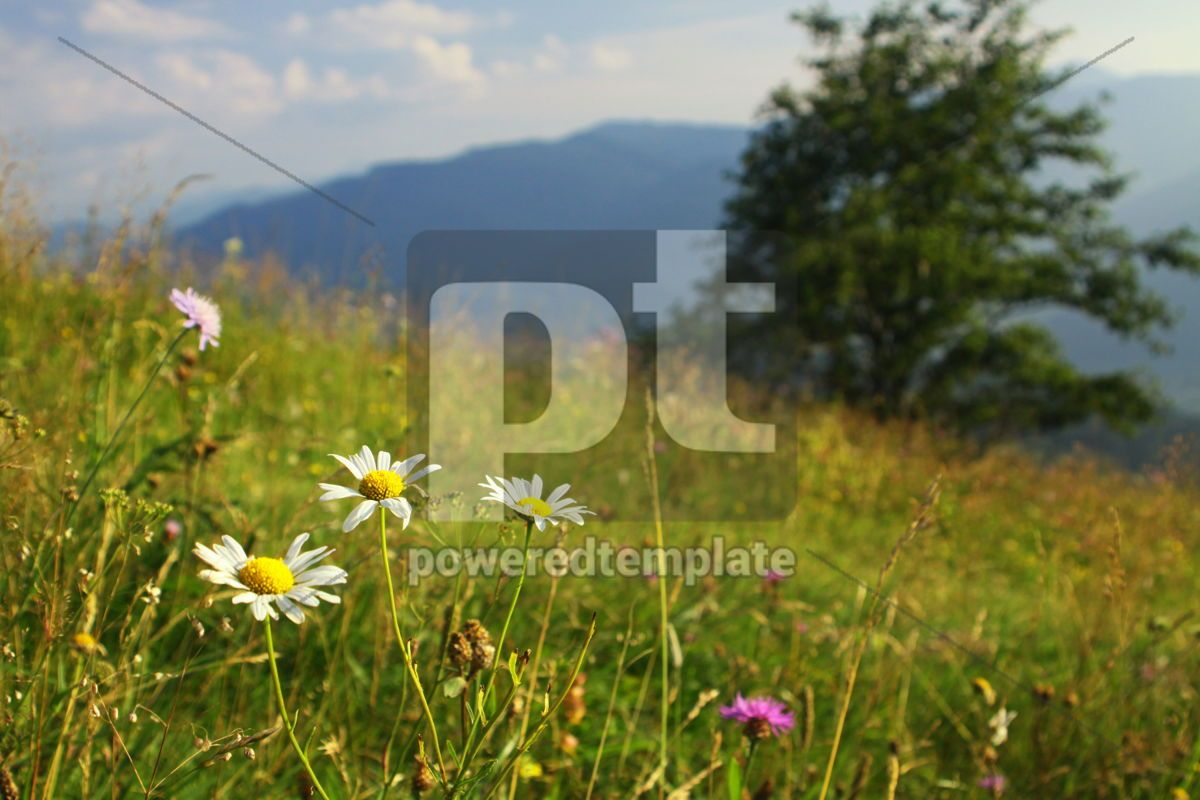 Camomile flowers on the green mountain meadow in Carpathians Uk, 04210, Nature — PoweredTemplate.com