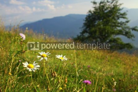 Nature: Camomile flowers on the green mountain meadow in Carpathians Uk #04210