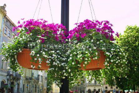 Nature: Hanging flowers on a street of Lviv city Ukraine #04213