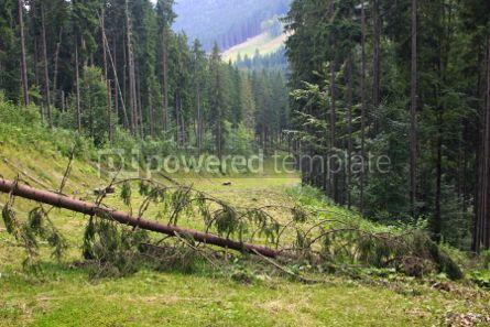 Nature: Fallen pine-tree across the track of Bukovel ski resort in summe #04221