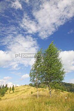 Nature: Landscape with birches in Carpathian mountains Ukraine #04222