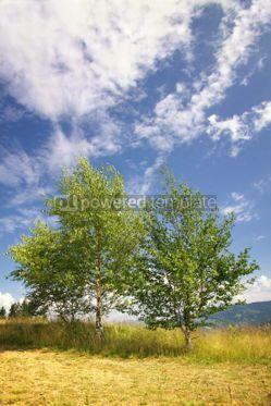 Nature: Landscape with birches in Carpathian mountains Ukraine #04223