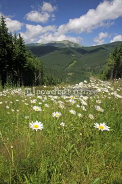 Nature: Summer landscape with camomiles field Carpathian mountains Ukr #04228