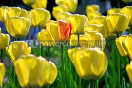 Nature: Close-up yellow tulips in the garden #04237