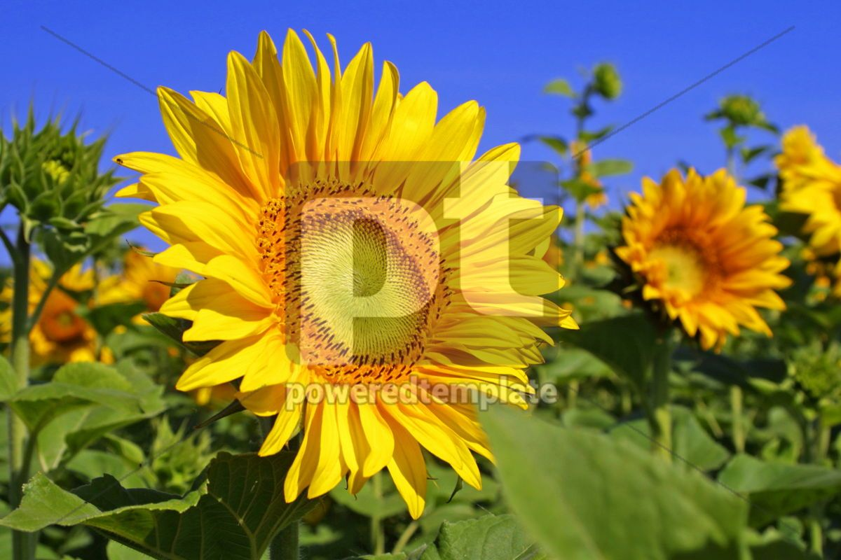 Sunflowers on a field with blue sky background, 04242, Nature — PoweredTemplate.com