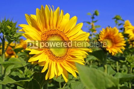 Nature: Sunflowers on a field with blue sky background #04242