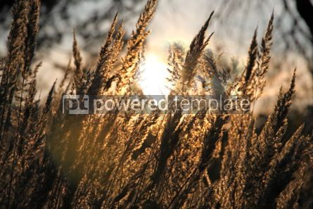 Nature: Close-up dry grass field over the setting sun #04248