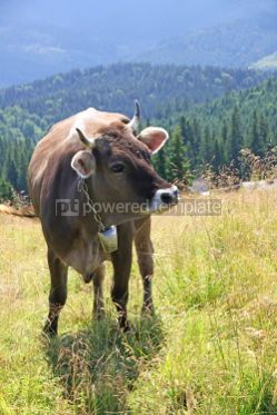 Animals: Cow on a pasture in Carpathian mountains Ukraine #04274