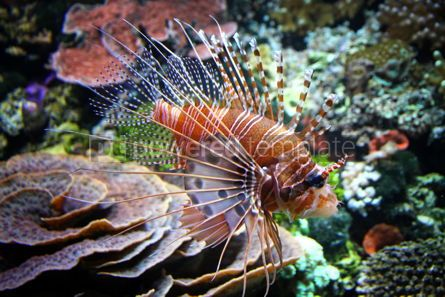 Animals: The Red lionfish (Pterois volitans) in the water #04277