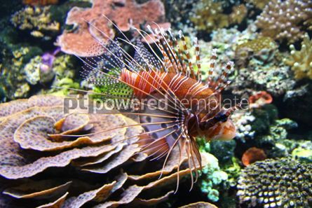 Animals: The Red lionfish (Pterois volitans) in the water #04278