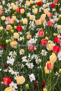 Nature: Tulips and daffodils in the garden #04320