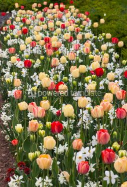 Nature: Tulips and daffodils in the garden #04321