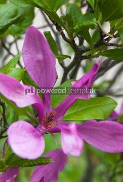 Nature: Close-up pink magnolia flower #04322