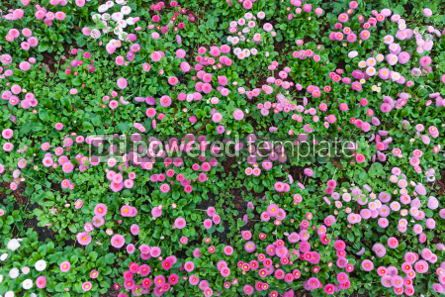 Nature: Beautiful natural pattern made of Daisy flowering plants #04323